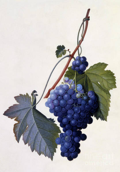 Grape Bunch Wall Art - Painting - Grapes by Georg Dionysius Ehret