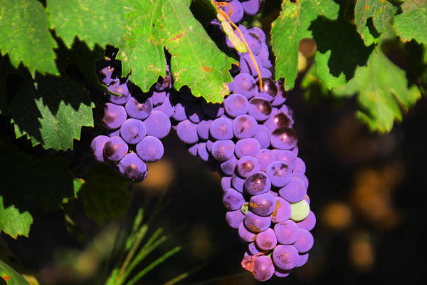 Swan Valley Photograph - Grapes In The Sun by Jeff Swan