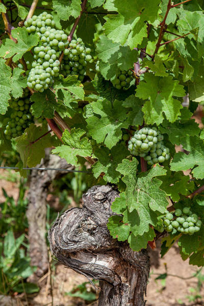 Wall Art - Photograph - Grapes Of Alsace by W Chris Fooshee