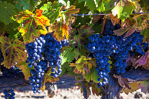 Foodstuff Photograph - Grapes Ready For Harvest by Garry Gay