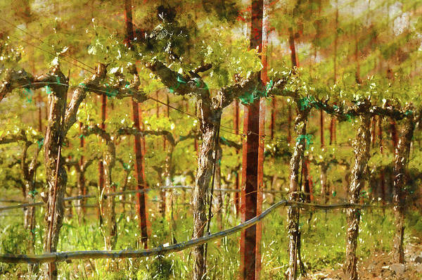 Photograph - Grapes Vines In Vineyard During Spring by Brandon Bourdages