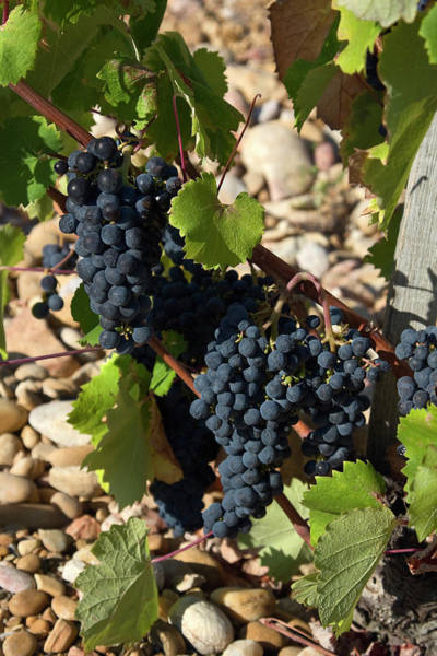 Chateauneuf Photograph - Grapevine And Pebbles by Sally Weigand