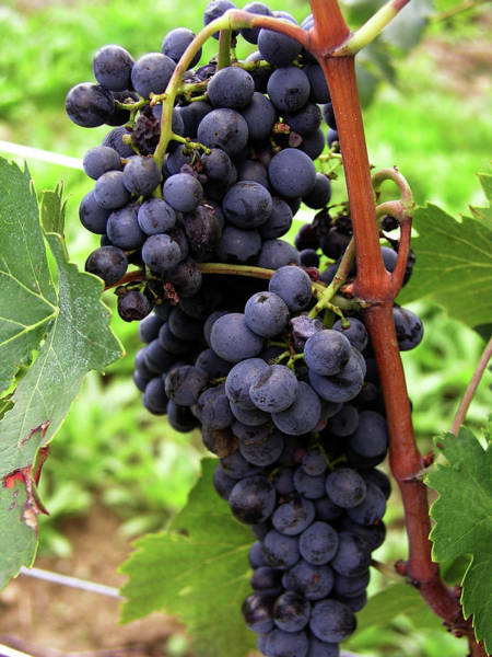 Photograph - Grapevine by Mary Capriole