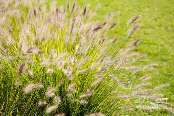 Pennisetum Photograph - Grass Bunch Pennisetum Alopecuroides by Arletta Cwalina
