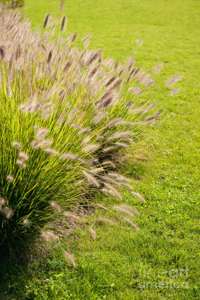 Pennisetum Photograph - Grass Clump Pennisetum Alopecuroides by Arletta Cwalina