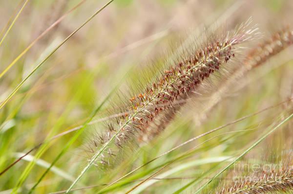 Pennisetum Photograph - Grass Ears Pennisetum Alopecuroides by Arletta Cwalina