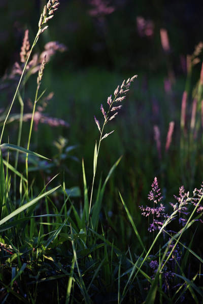 Photograph - Grass In The Field #1 by David Lunde