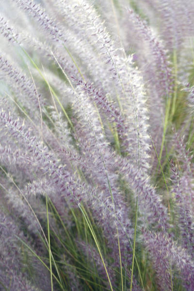 Photograph - Grass Is More - Nature In Purple And Green by Ben and Raisa Gertsberg