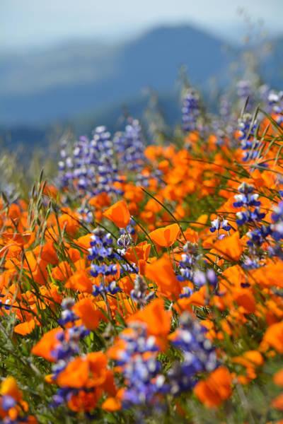 Figueroa Mountain Photograph - Grass Mountain Wildflowers Portrait by Kyle Hanson