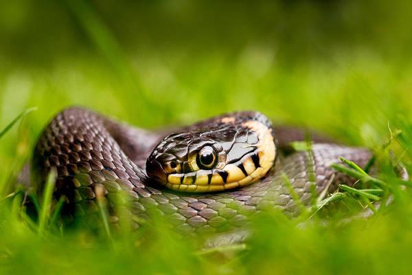 Snake Wall Art - Photograph - Grass Snake - Natrix Natrix by Roeselien Raimond