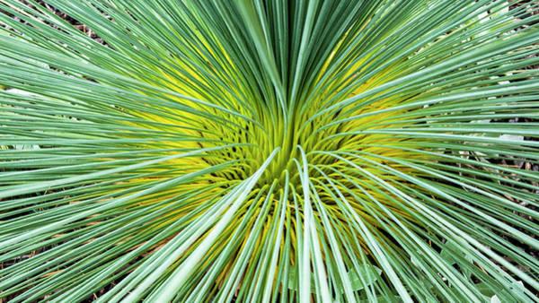Photograph - Grass Tree - Canberra - Australia by Steven Ralser