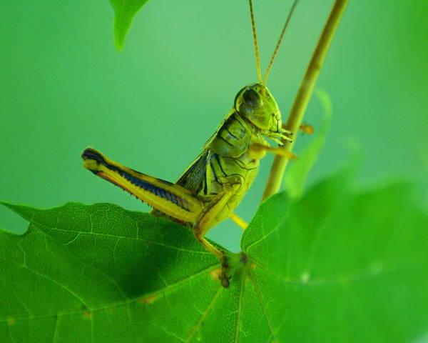 Photograph - Grasshopper 2 by Ben Upham III