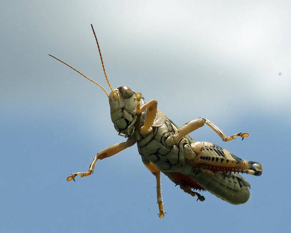 Photograph - Grasshopper I by James Granberry