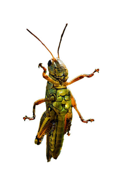 Grasshopper Photograph - Grasshopper II by Gary Adkins