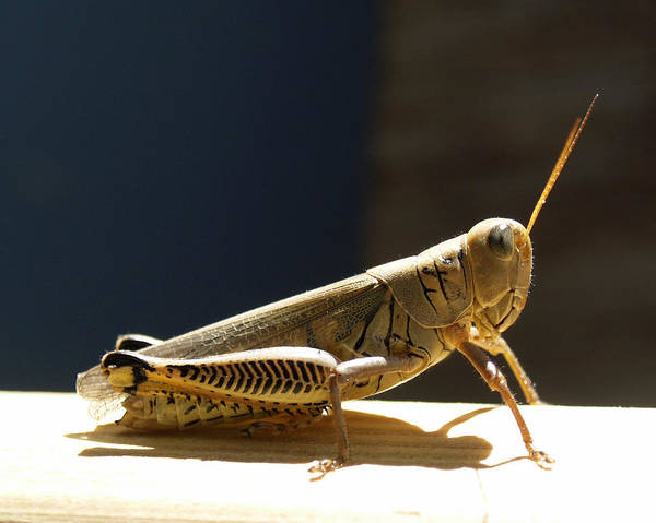 Photograph - Grasshopper IIII by James Granberry