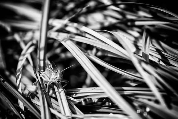 Photograph - Grasshopper In The Grass, No. 1 Bw by Belinda Greb