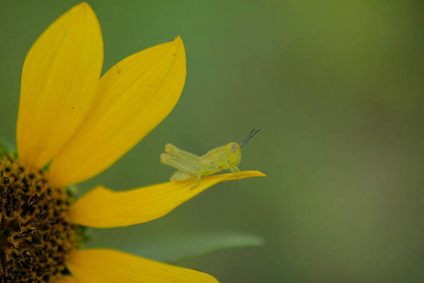 Wall Art - Photograph - Grasshopper On A Flower Petal by Jeff Swan
