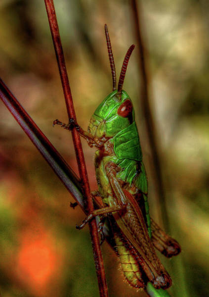 Photograph - Grasshopper by Roberto Pagani
