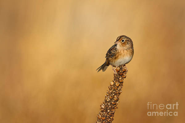 Photograph - Grasshopper Sparrow - Fresh Fall by Beve Brown-Clark Photography
