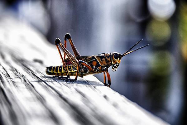 Grasshopper That Devoured Sopchoppy Art Print