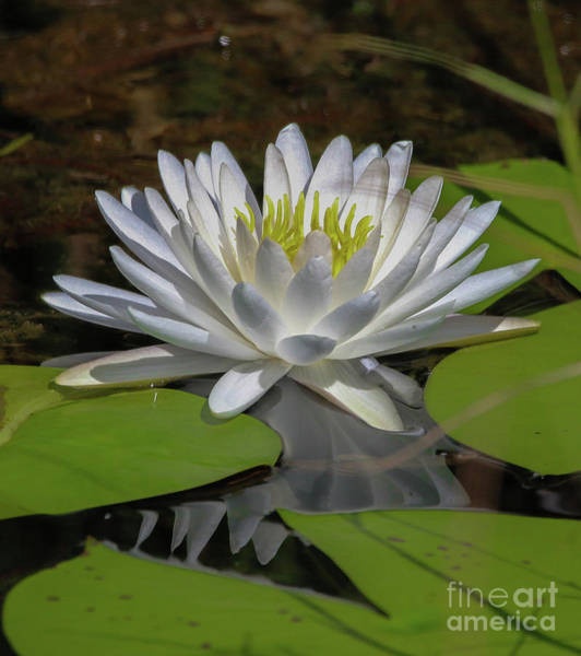 Photograph - Grassy Waters Lily by Tom Claud