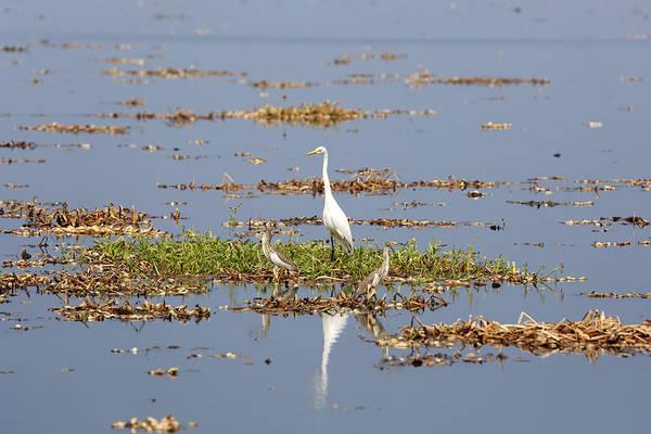 Ardea Photograph - Grat Egret - India by Joana Kruse