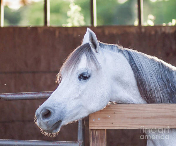 Photograph - Gray Arabian by Julia Rigler