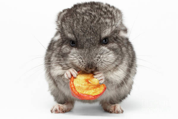 Wall Art - Photograph - Gray Baby Chinchilla Eating Apple On White  by Sergey Taran