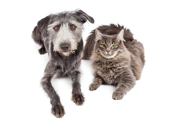 Canine Photograph - Gray Cat And Crossbreed Dog by Susan Schmitz