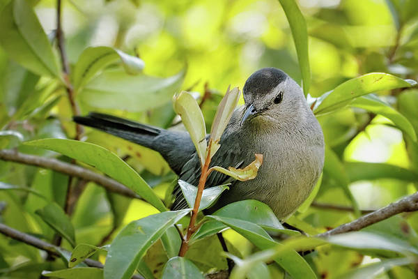Photograph - Gray Catbird by Dawn Currie