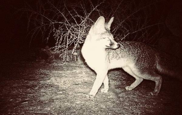 Photograph - Gray Fox At Night 2 by Judy Kennedy