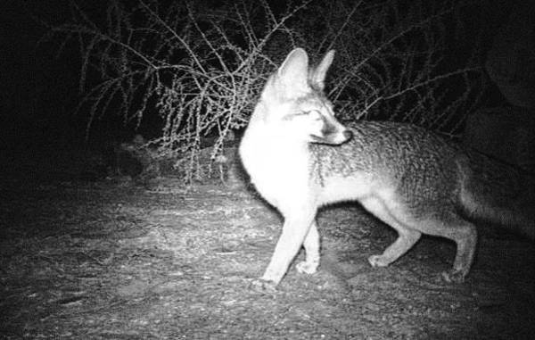Photograph - Gray Fox At Night by Judy Kennedy