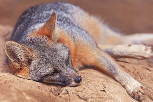 Photograph - Gray Fox  by Brian Cross