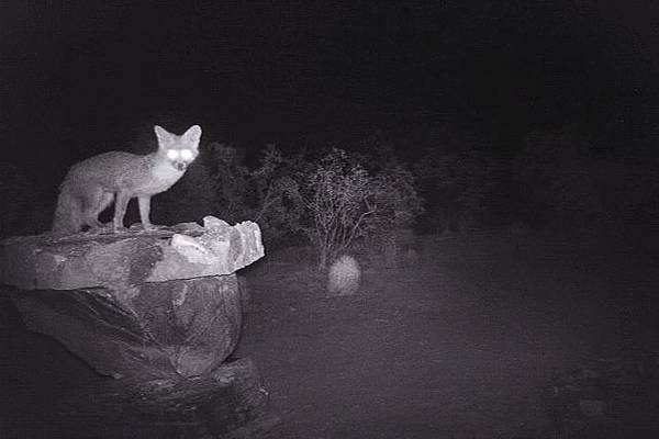 Photograph - Gray Fox On Stone Birdbath At Night by Judy Kennedy