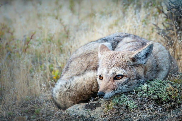 Photograph - Gray Fox  by Usha Peddamatham