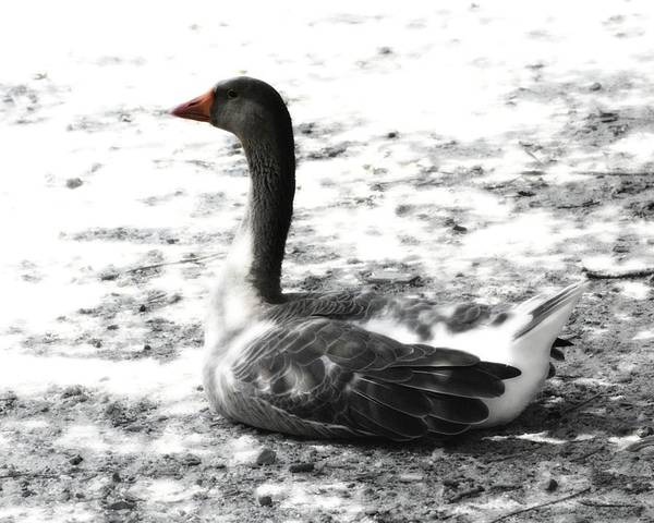 Photograph - Gray Goose by John Feiser