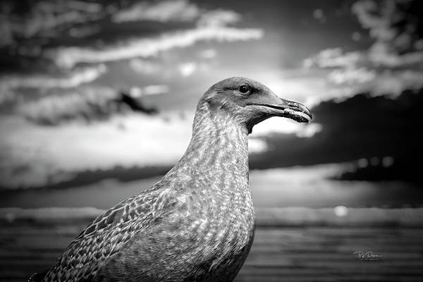 Photograph - Gray Gull by Bill Posner