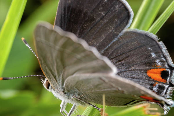 Photograph - Gray Hairstreak Butterfly by Brian Hale