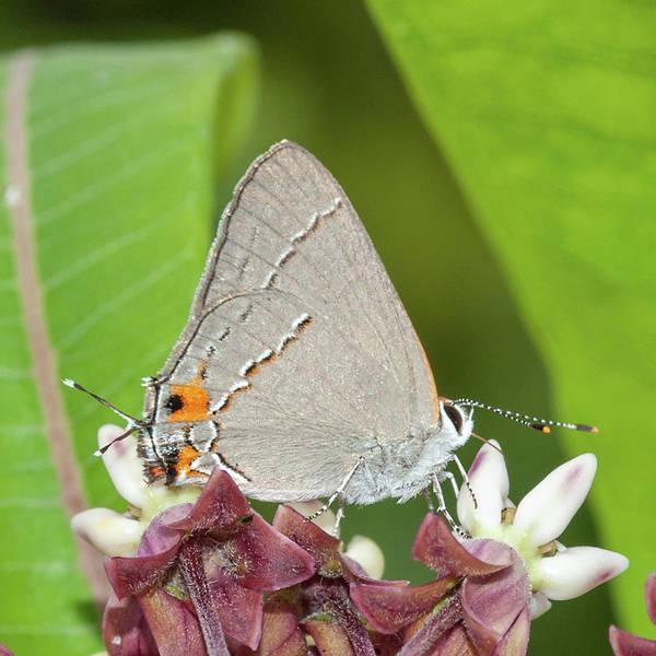 Photograph - Gray Hairstreak Butterfly On Milkweed by Lara Ellis
