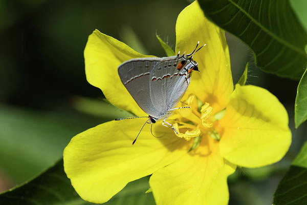 Photograph - Gray Hairstreak Butterfly by Robert Potts