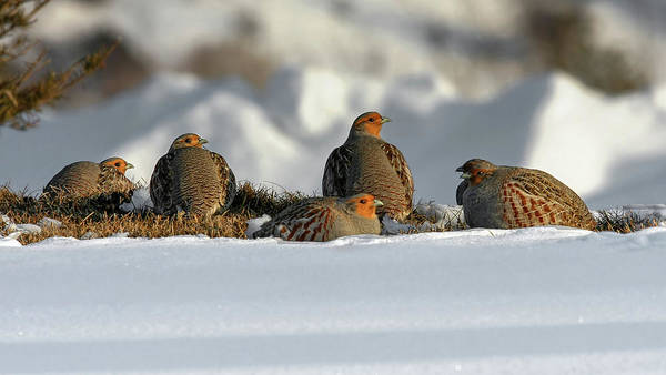 Photograph - Gray Partridge by Ronnie and Frances Howard