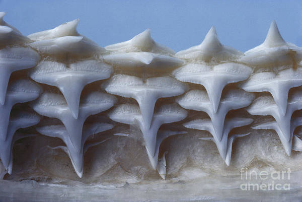 Carcharhinidae Photograph - Gray Reef Shark Teeth by Tom McHugh