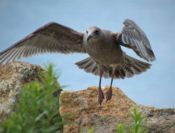 Photograph - Gray Seagull Landing by Charles HALL