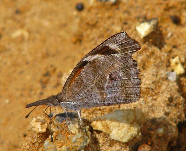 Snout Butterfly Photograph - American Snout by Carl Moore