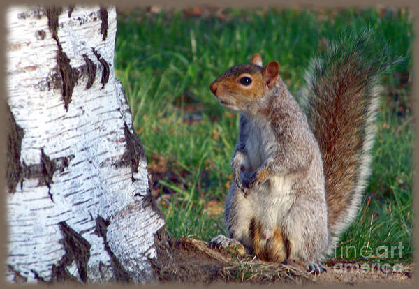 Photograph - Gray Squirrel In My Yard by Charles Robinson