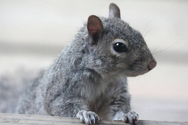 Photograph - Gray Squirrel by Trina Ansel