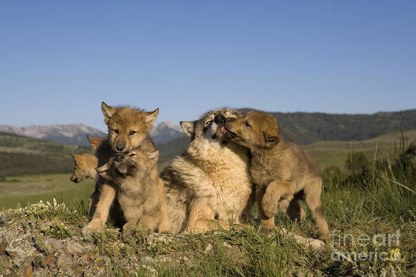 Timber Wolves Photograph - Gray Wolf And Cubs by Jean-Louis Klein & Marie-Luce Hubert