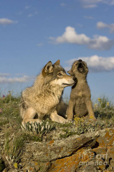 Timber Wolves Photograph - Gray Wolf And Howling Cub by Jean-Louis Klein & Marie-Luce Hubert