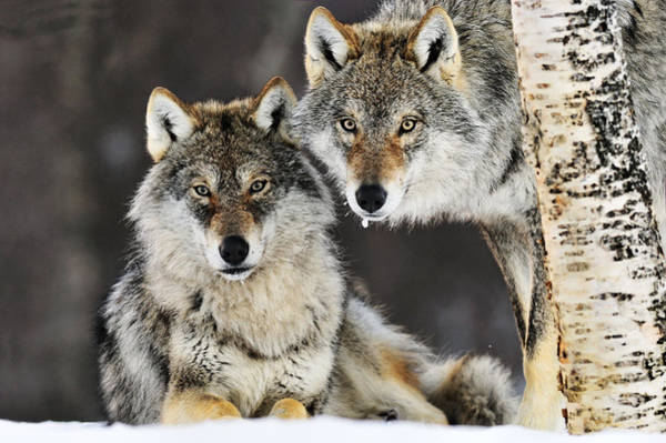 Art Print featuring the photograph Gray Wolf Canis Lupus Pair In The Snow by Jasper Doest