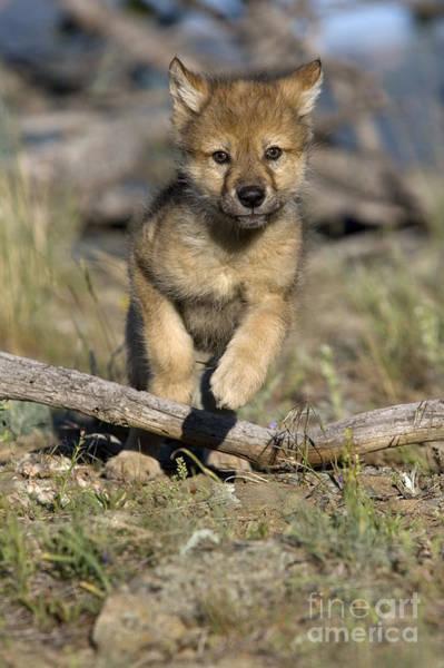 Timber Wolves Photograph - Gray Wolf Cub Running by Jean-Louis Klein & Marie-Luce Hubert